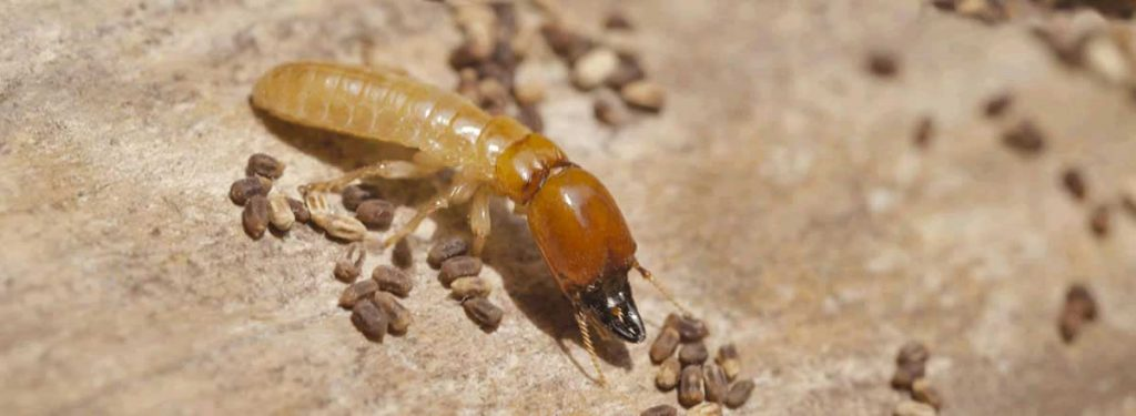 Termites Are They Active In Your House John Beal Real Estate